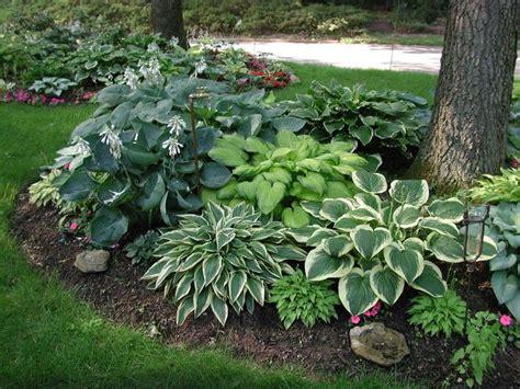 landscape shade plants image result for hostas under pine trees landscape ideas pinterest pine tree pine and gardens