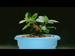 Ficus Ginseng Schneiden : how to turn a ginseng ficus into a real bonsai tree doovi ~ Frokenaadalensverden.com Haus und Dekorationen