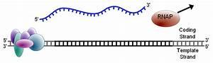 Transcription  Genetics