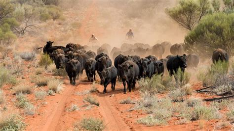 Northern Territory cattle's mammoth journey to Dubbo ...