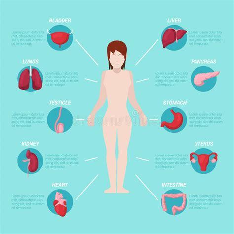 il corpo umano gli organi interni schema medico di anatomia corpo umano con gli organi