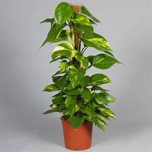 Zimmerpflanzen Für Wenig Licht : zimmerpflanzen f r wenig licht 21 gr ne und bl hende ~ A.2002-acura-tl-radio.info Haus und Dekorationen