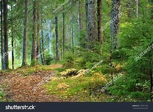 Dark Pine Forest Scene Stock Photo 116791168 - Shutterstock