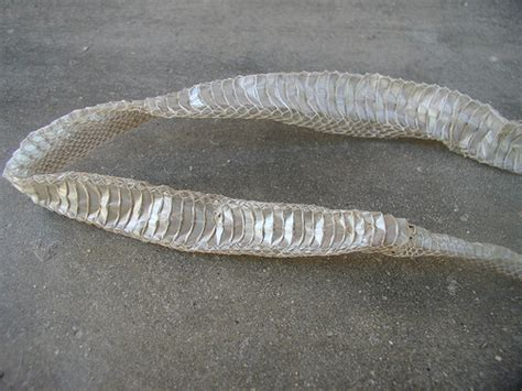 shed snake skin pictures photo
