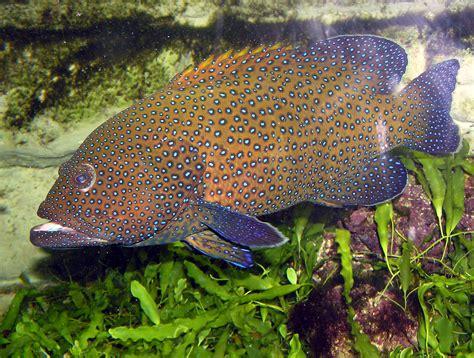 grouper spotted arp commons fish wikipedia argus wikimedia marine wiki