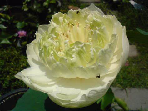 Bloggang.com : muoodda - สายพันธุ์ของดอกบัวหลวง