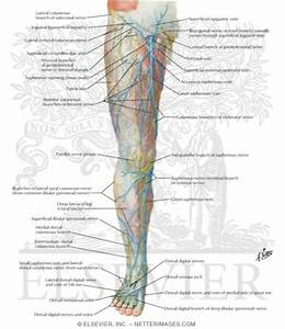 Nerves Of The Leg Labeled