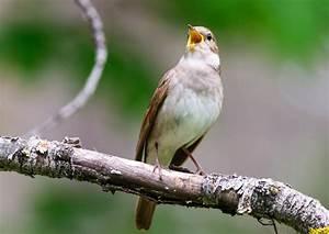 Пение птиц от диабета