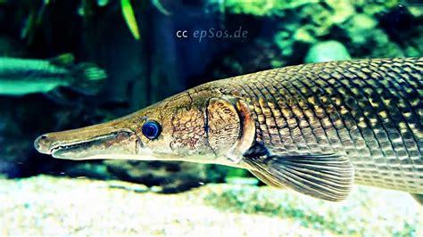 big alligator gar fish  aquarium youtube
