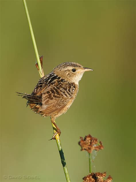 birds in focus sedge wren