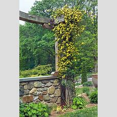 Perennial Picks That Make Quick Climbers  Plants And