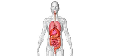 Identifying Human Organ Systems