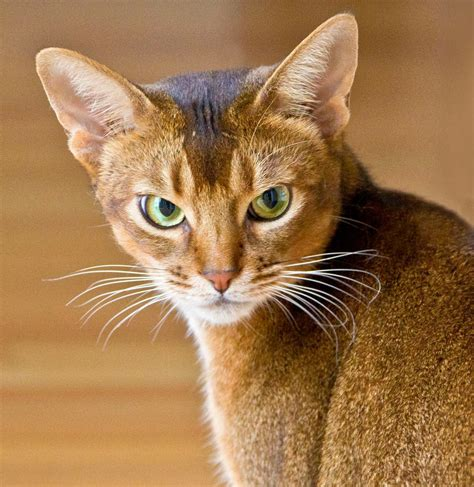 Abyssinian Cats | Cute Cats