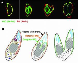 Subcellular Localization Of The Imc During Toxoplasma
