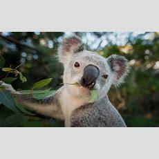 Endangered Koalas To Benefit From Koala Mattress Sales  Wwf Australia Wwfaustralia