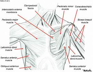 Muscles Of The Trunk  On The Right Side Of The Figure  The