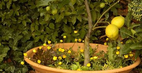 potare i limoni in vaso come coltivare i limoni in vaso greenme it