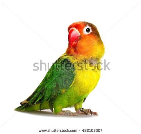 lovebirds stock  royalty  images vectors