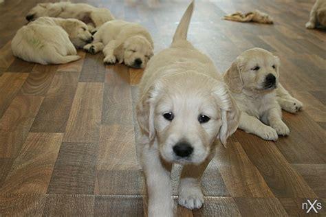 Golden Retriever  Ee  Puppies Ee   By Xxnoxiousxx On Deviantart