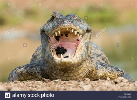 Stock Photo Of A Spectacled Caiman With Its Mouth Open