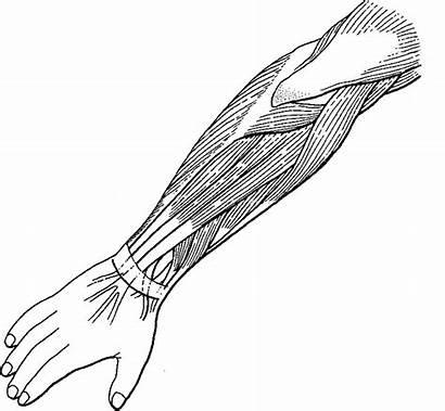 Arm Muscles Anatomy Arms Label Brazo Carpi