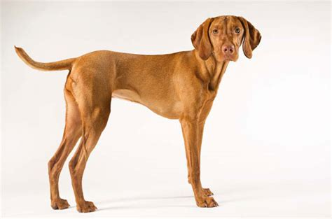 Dogs That Dont Shed Weimaraner by Vizsla