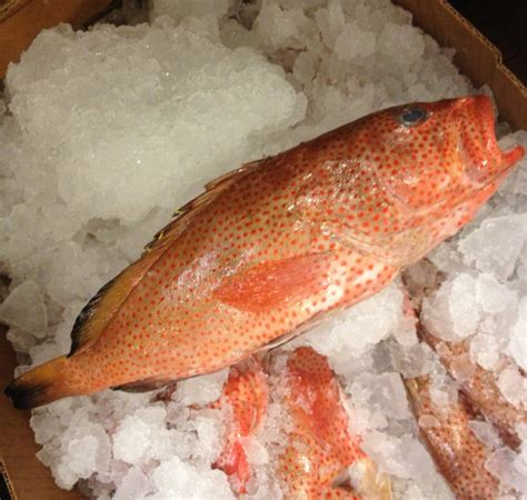 grouper strawberry hind atlantic rock names gulf lucky flavor