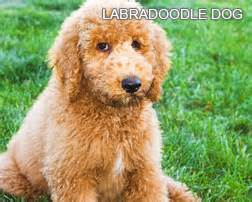 list of non shedding dog breeds dog breeds picture