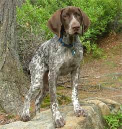 types of popular hypoallergenic hunting dogs dog
