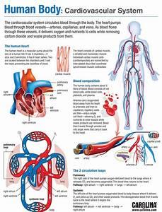 Human Body  Cardiovascular System