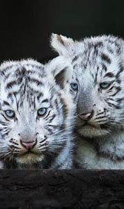 Blue-eyed white tiger cubs wallpapers and images ...