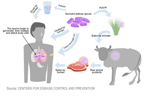 Anthrax Bacterium Diagram by Mu Researcher Aids New Anthrax Detection Development