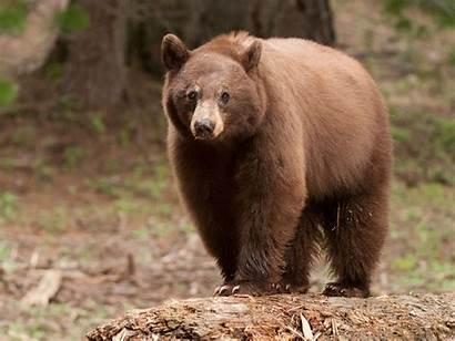Bear Pinot Noir Security Catch Cameras Grapes