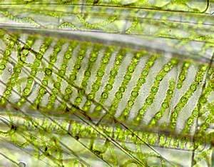 Diagram Of Spirogyra