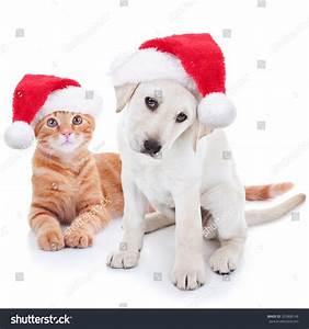 Cute Christmas Pet Labrador Puppy Dog Stock Photo ...