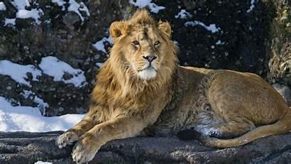 Wild Cats Zoo Cat Animals Puma Lion