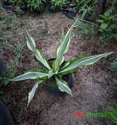 jual tanaman hias daun agave furcraea gigantea