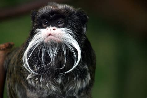 5 Interesting Facts About Emperor Tamarins