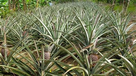 pineapple plant growing pineapple plants