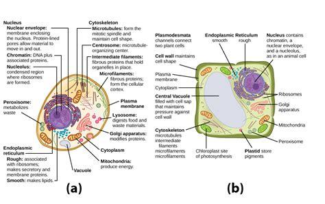 organelles biology  majors