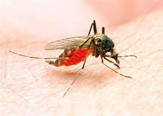 Scientists release genetically modified mosquitoes in Hi-Security lab…