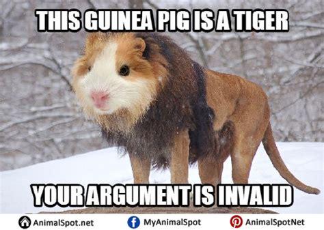 Funny Pig Memes - guinea pig memes