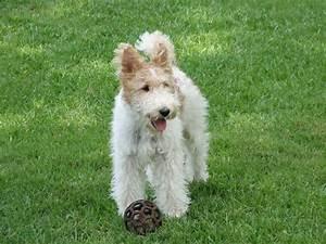 Wire Fox Terrier - Pictures, Information, Temperament ...