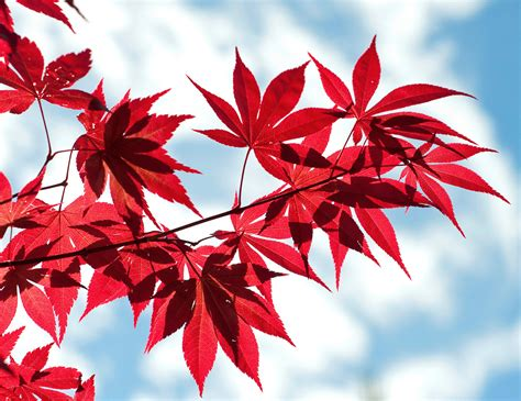 Red Leaves By Axhellwood On Deviantart