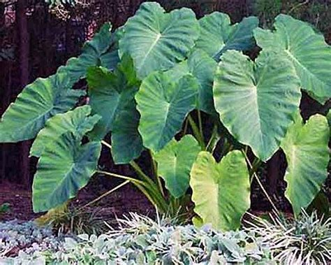 how to grow elephant ears how to grow elephant ear plants