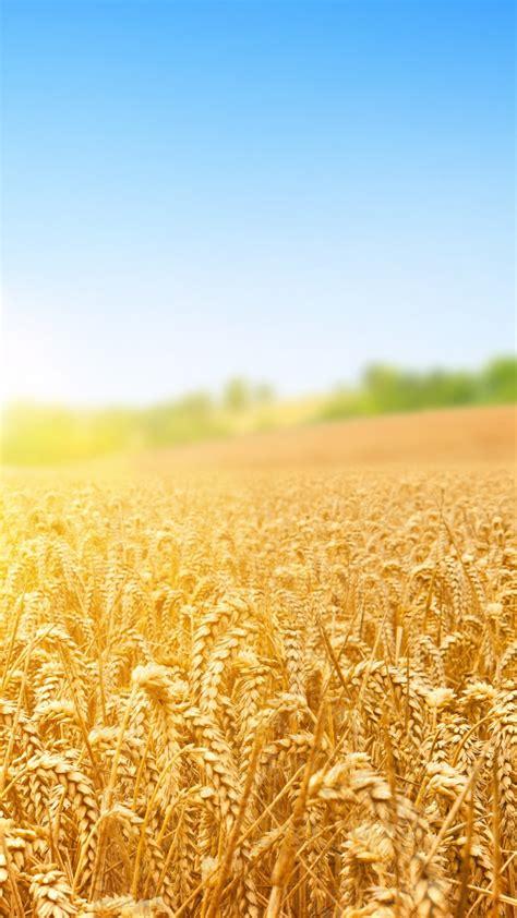 wallpaper wheat field nature sky  nature