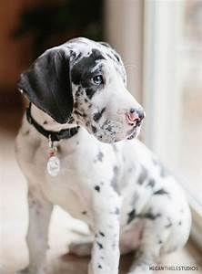 Harlequin Great Dane Blue Eyes | www.imgkid.com - The ...