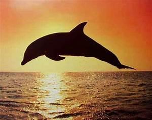 Schöne Delfin Bilder : delfin silhouette im sonnenuntergang poster 40x50 cm kaufen ~ Frokenaadalensverden.com Haus und Dekorationen