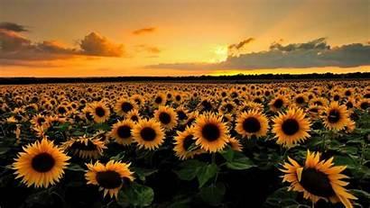 Desktop Sunflower Field Wallpapers Pretty Mobile Explore