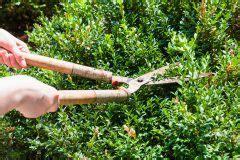 thuja stark zurückschneiden buchsbaum ist vertrocknet 187 ursachen und ma 223 nahmen